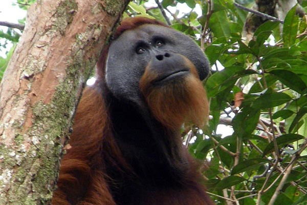 A one-off donation of $150  will ensure the protection of an orangutan for a year