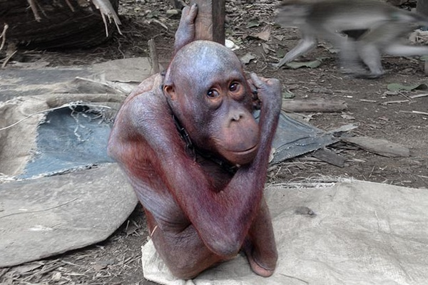 A one-off donation of $150 will fund an orangutan rescue