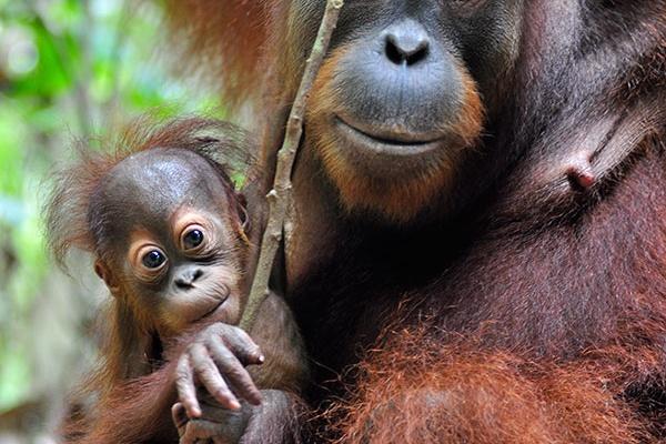 Donation Appeals - The Orangutan Project
